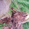 3-stems-fail-sweet-chestnut-1