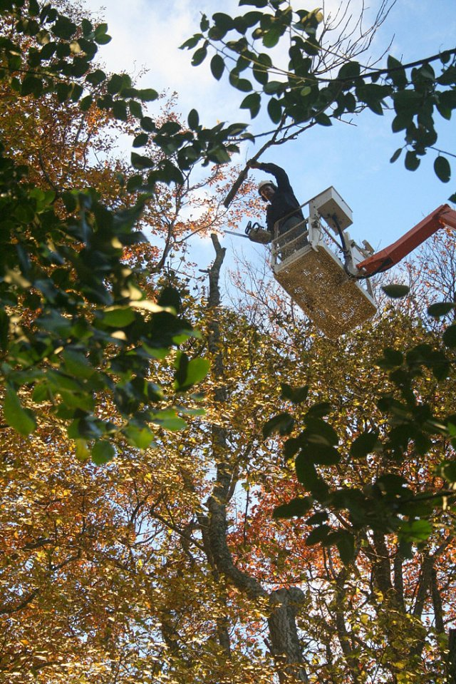 Cherry picker used to dismantle tree in a controlled manner